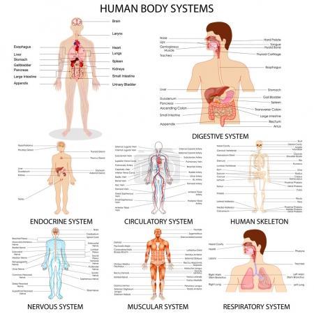 Chart of body organs