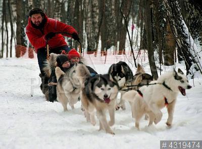 4319474 / Матвей Шпаро. Создатель хаски-парка в `Сокольниках` Матвей Шпаро катает детей на собачьей упряжке.