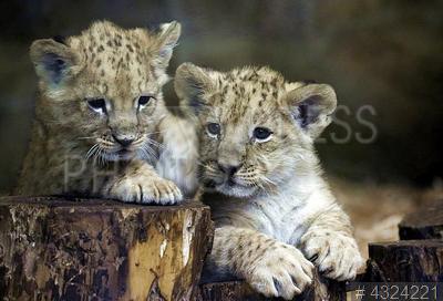 4324221 / Африканские львята. Ленинградский зоопарк. Львята в вольере.