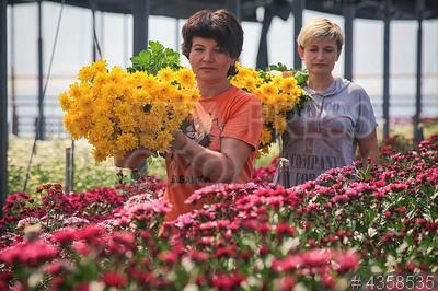 4358535 / Выращивание цветов. Тепличный комплекс ООО `Альфа`. Выращивание цветов на срез.
