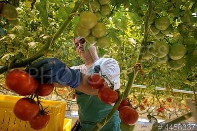 4458337 / Агрохолдинг `Выборжец`. Агрохолдинг `Выборжец`, продукция которого получила знак `Петербургская марка качества`. Сбор томатов.