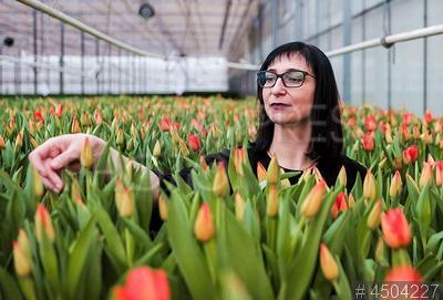 4504227 / Выращивание тюльпанов. Цветочно-оранжерейный комплекс КУП `Цветы столицы`. Выращивание тюльпанов в теплице.
