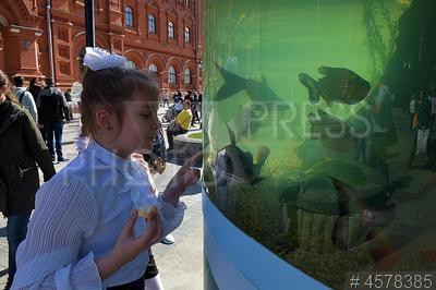 4578385 / Фестиваль `Рыбная неделя`. Фестиваль `Рыбная неделя в Москве`. Девочка у аквариума с живыми рыбами.