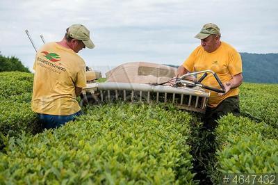 4647432 / Сбор чая. Чайная плантация ООО `Мацестинская чайная фабрика`. Механизированный сбор чайного листа.