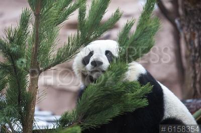 6158354 / Панда. Московский зоопарк принимает нераспроданные новогодние елки. Панда.