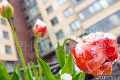 6191305 / Тюльпаны в снегу. Весенний снегопад. Тюльпаны в снегу во дворе жилого дома.