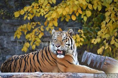 6300292 / Тигр. Московский зоопарк. Гибрид суматранского и амурского тигров Степан в вольере.